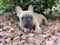Mouse French Bulldog