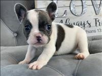 Khloe French Bulldog
